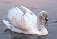 Лебедь (фотография)